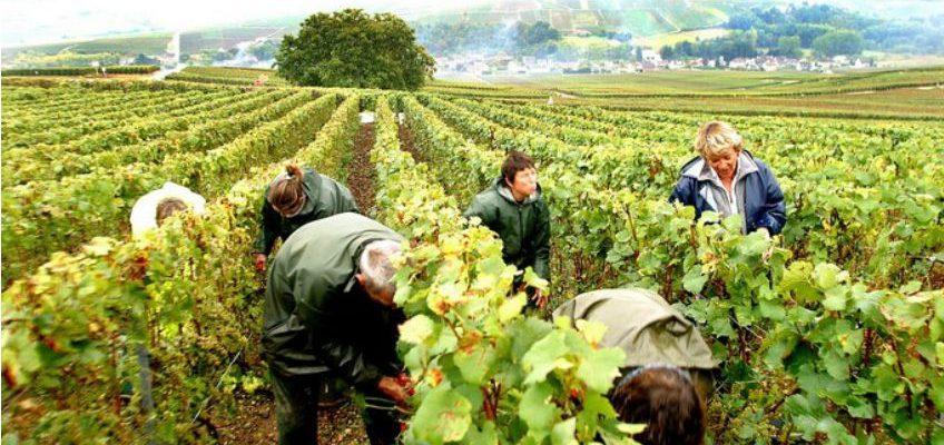 Harvest time has started in Champagne!!
